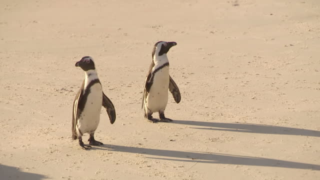 ms ts two penguins walking on beach / western cape, south africa - boulder beach western cape province stock videos and b-roll footage