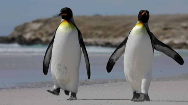 two penguins walking on the beach - penguin stock videos & royalty-free footage