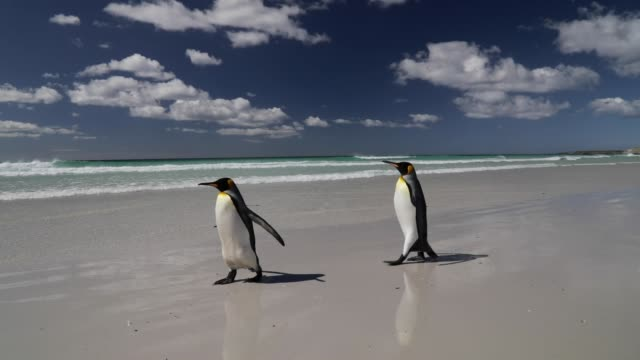two penguins walking on the beach - two animals stock videos & royalty-free footage