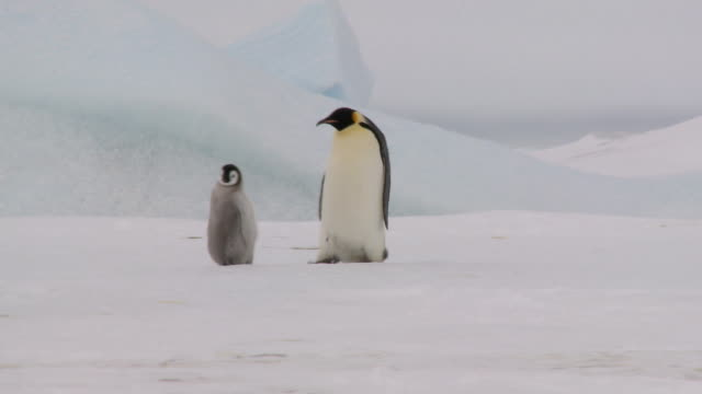 two penguins walking - waddling stock videos and b-roll footage