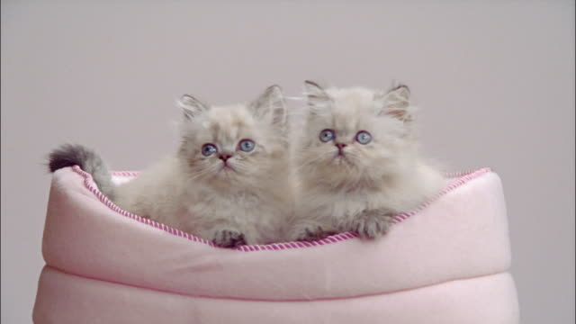 vídeos de stock, filmes e b-roll de two persian kittens in pink cat bed / looking around - um do lado do outro