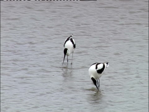 two pied avocets wade in a reservoir - aquatisches lebewesen stock-videos und b-roll-filmmaterial