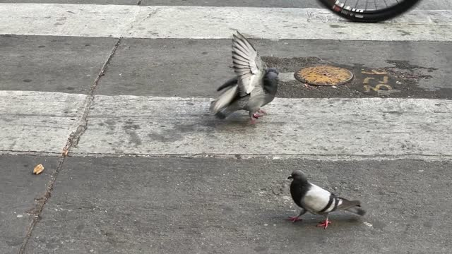 vídeos y material grabado en eventos de stock de two pigeons and then three, fight for a piece of churro, a type of fried sweet dough, on the street in downtown los angeles, while avoiding being run... - cámara en mano