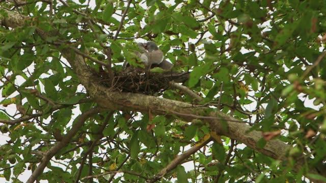 two pigeons in nest - 小さめのハト点の映像素材/bロール