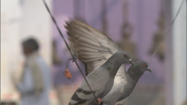 Two pigeons struggling to balance on wire, Bateshwar Available in HD.