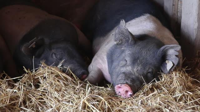 vídeos de stock, filmes e b-roll de cu two pigs asleep in pig pen - grupo pequeno de animais