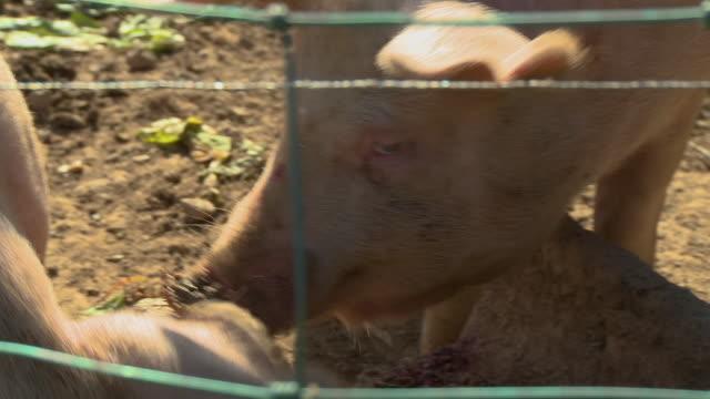 stockvideo's en b-roll-footage met two pigs behind fencing - neus van een dier