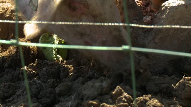 stockvideo's en b-roll-footage met two pigs eating - neus van een dier