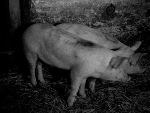 two pigs stand in a pen in an abattoir 1955 - pen stock videos & royalty-free footage