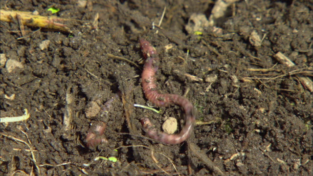 CU Two pink earthworms wiggling through wet soil / Portland, Oregon, USA