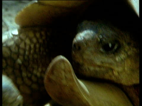 two ploughshare tortoises charge and fight each other until one is defeated and turned on its back, madagascar - war and conflict stock videos & royalty-free footage