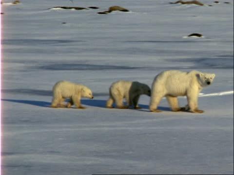 two polar bear clubs follow their mother across the ice. - 水の形態点の映像素材/bロール