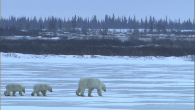 two polar bear cubs follow their mother over the surface of a frozen lake. - 肉食哺乳動物の子点の映像素材/bロール