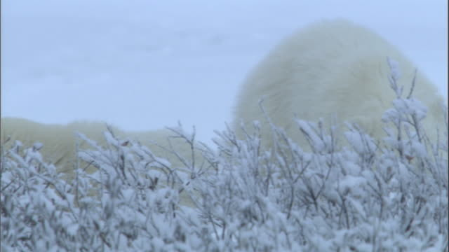 two polar bear cubs peer out from behind bushes in churchill, canada. - bush stock videos & royalty-free footage