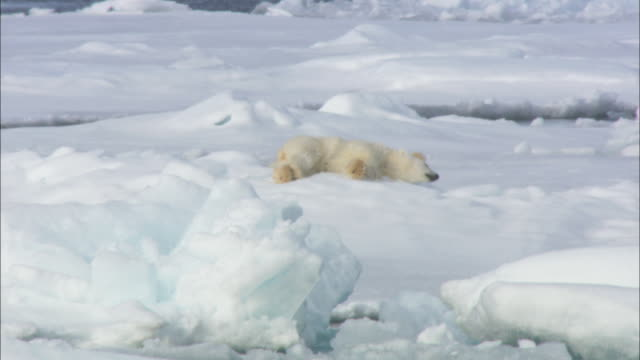 stockvideo's en b-roll-footage met two polar bear cubs roll and play on sea ice in svalbard, arctic norway. - ijsbeer