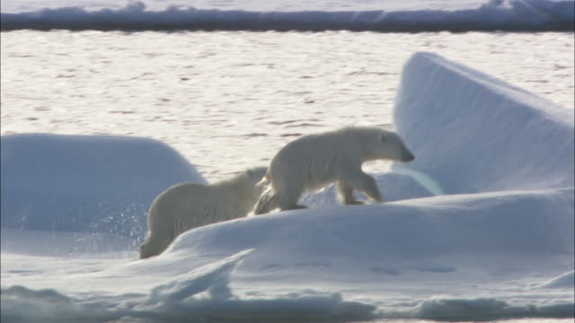 two polar bear cubs slide and clamber on sea ice in svalbard, arctic norway. - rutschen stock-videos und b-roll-filmmaterial