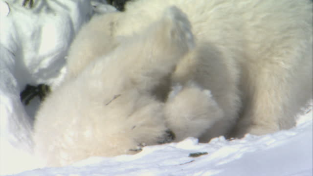 MS Two polar bear cubs snuggling against each other / Wapusk National Park, Manitoba, Canada