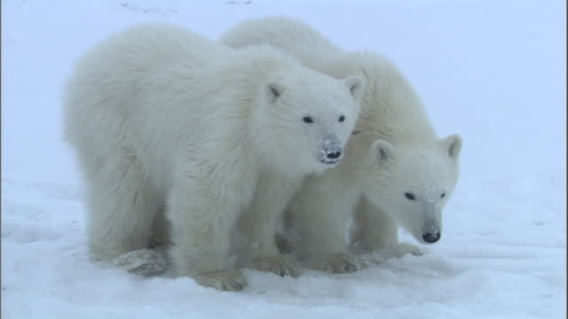 two polar bear cubs stand in the snow in churchill, canada. - raubtier stock-videos und b-roll-filmmaterial