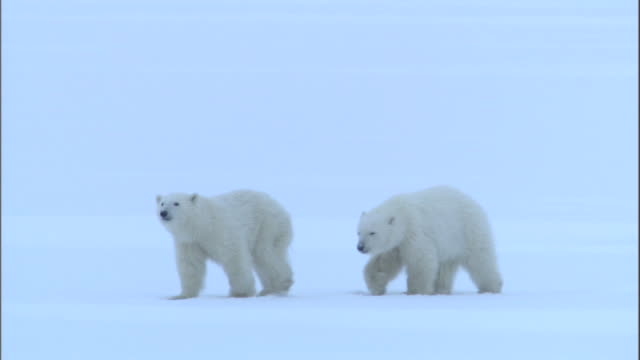 stockvideo's en b-roll-footage met two polar bear cubs walk through a snow field in churchill, canada. - welp