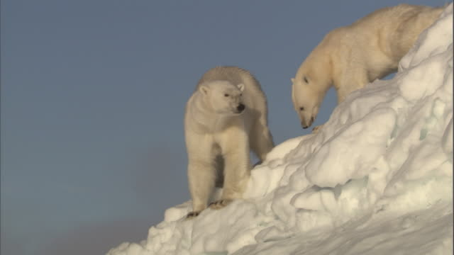 two polar bears clamber to the top of an iceberg in svalbard, norway. - ホッキョクグマ点の映像素材/bロール