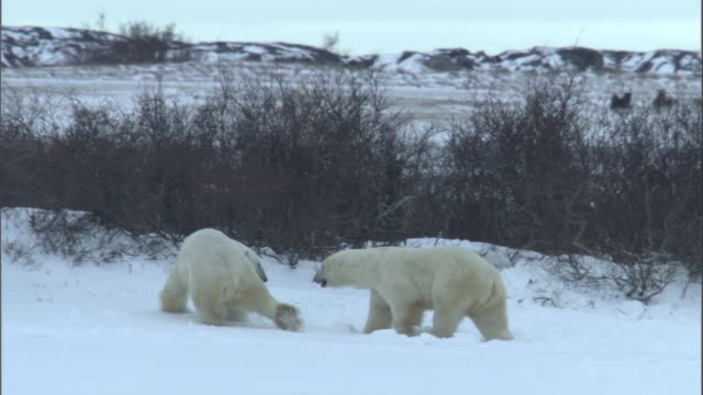 two polar bears fight in a snowy field in canada, wolf pack in background. - 攻撃的点の映像素材/bロール
