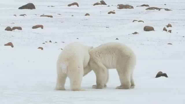 MS PAN Two polar bears fighting each other / Churchill, Manitoba, Canada