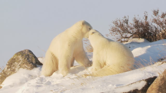 ms pan two polar bears fighting each other on snow / churchill, manitoba, canada - other stock videos & royalty-free footage