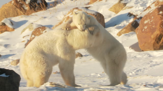 ms pan two polar bears fighting each other on snow / churchill, manitoba, canada - manitoba stock videos & royalty-free footage