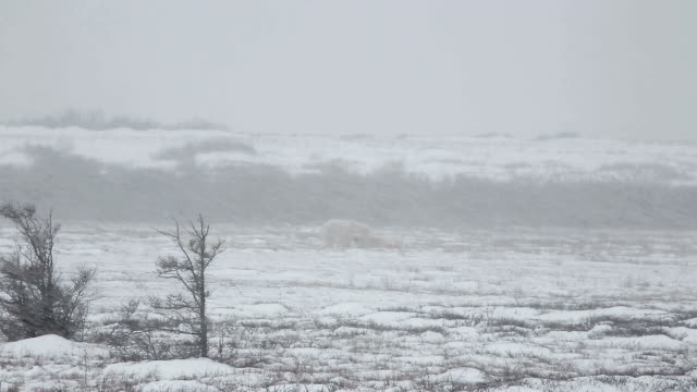 two polar bears fighting in churchill, canada - manitoba stock videos & royalty-free footage