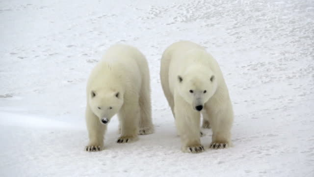 Two Polar bears in Churchill, Canada