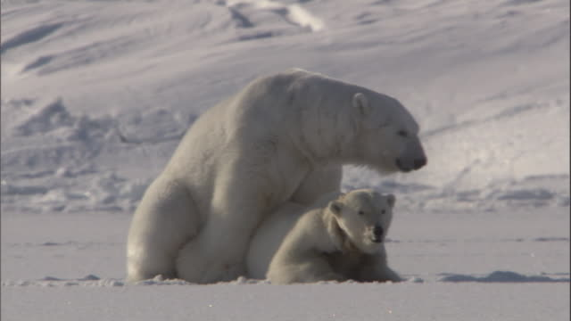 two polar bears mate on an ice field in svalbard, norway. - sex and reproduction stock videos & royalty-free footage