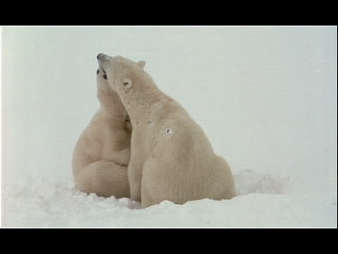 two polar bears nip at each other as they play in the snow. - other stock videos & royalty-free footage