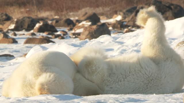 MS TS Two polar bears play fighting in snow / Churchill, Manitoba, Canada