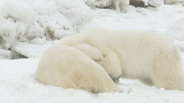 MS SLO MO Two polar bears playing and fighting / Churchill, Manitoba, Canada