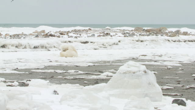 WS SLO MO Two polar bears playing and fighting in frozen landscape / Churchill, Manitoba, Canada