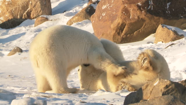 ms zi slo mo two polar bears playing and fighting with each other / churchill, manitoba, canada - contestant stock videos & royalty-free footage