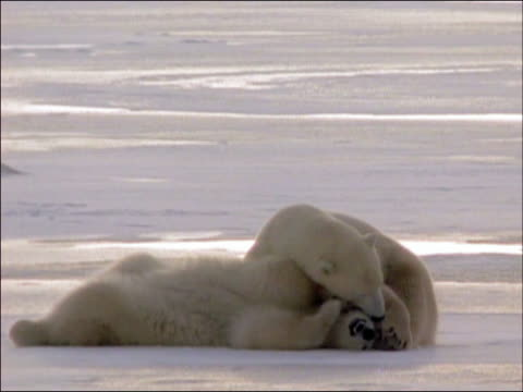 two polar bears (ursus maritimus) playing on ice / churchill, manitoba, canada - auf dem rücken liegen stock-videos und b-roll-filmmaterial