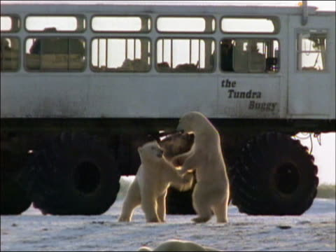 two polar bears (ursus maritimus) playing outside tundra vehicle containing tourists / churchill, manitoba, canada - manitoba stock videos & royalty-free footage