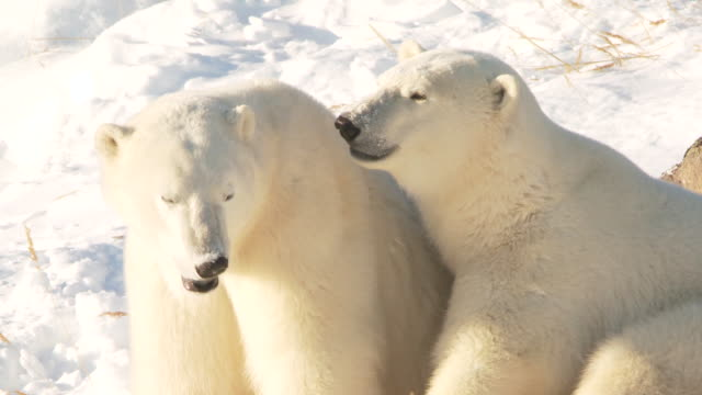 vidéos et rushes de ms two polar bears sitting in snow / churchill, manitoba, canada  - comportement animal