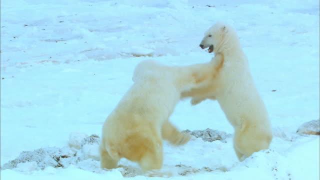 two polar bears standing and fighting on snowfield - 対立点の映像素材/bロール