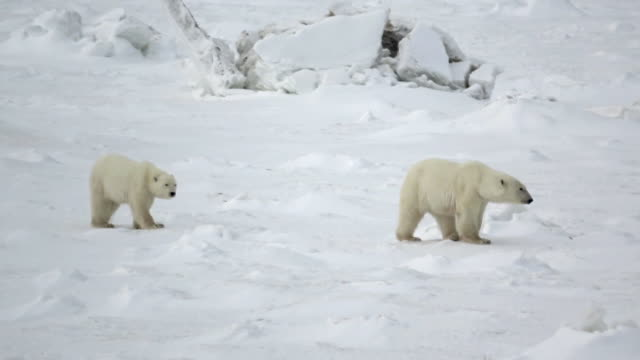 vídeos de stock e filmes b-roll de two polar bears walking on snow in churchill, canada - animal body part