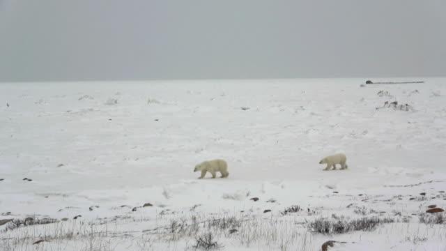 vídeos de stock, filmes e b-roll de two polar bears walking on snow in churchill, canada - pólo norte