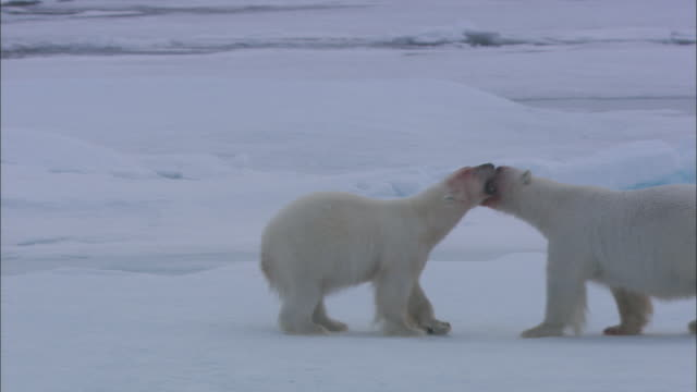 two polar bears with blood on their faces play-fight in the snow. - 攻撃的点の映像素材/bロール