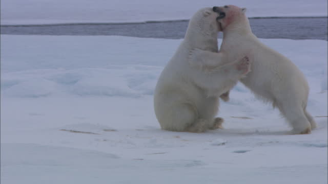 two polar bears with blood-covered faces play-fight in the snow. - aggression点の映像素材/bロール