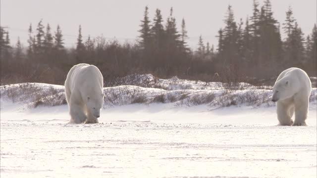 vidéos et rushes de two polar bears,ursus maritimus, churchill, manitoba, canada - two animals