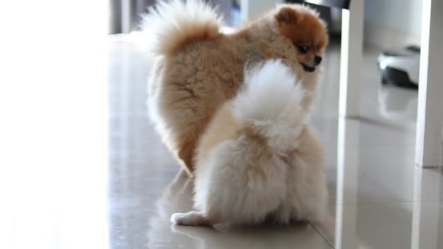 Two pomeranian dog playful in home