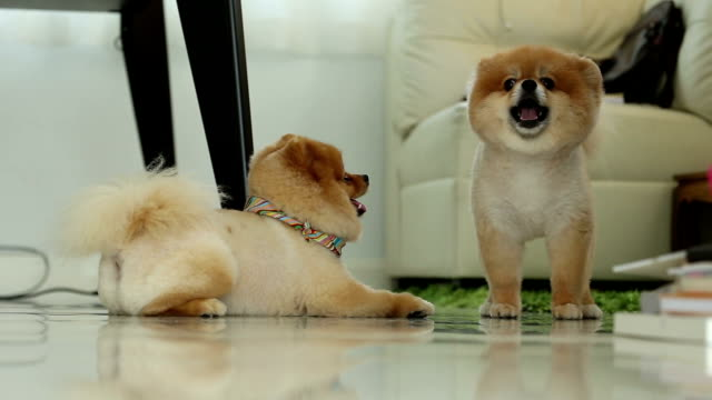 two pomeranian dog smiling