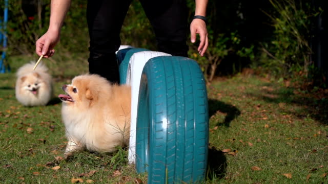 slo - mo two pomeranian dogs playing in playground - simple living stock videos & royalty-free footage