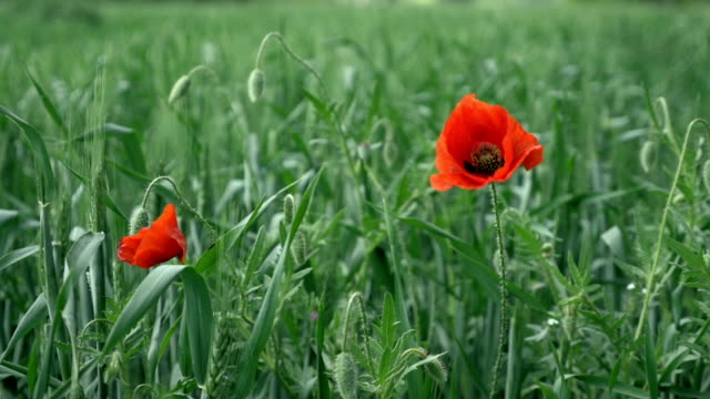 Two poppies swaying in the wind in a wheat field