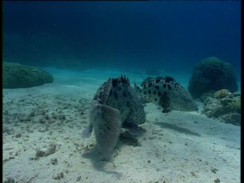 two potato cod swim over shallow sea bed, great barrier reef - タラ点の映像素材/bロール